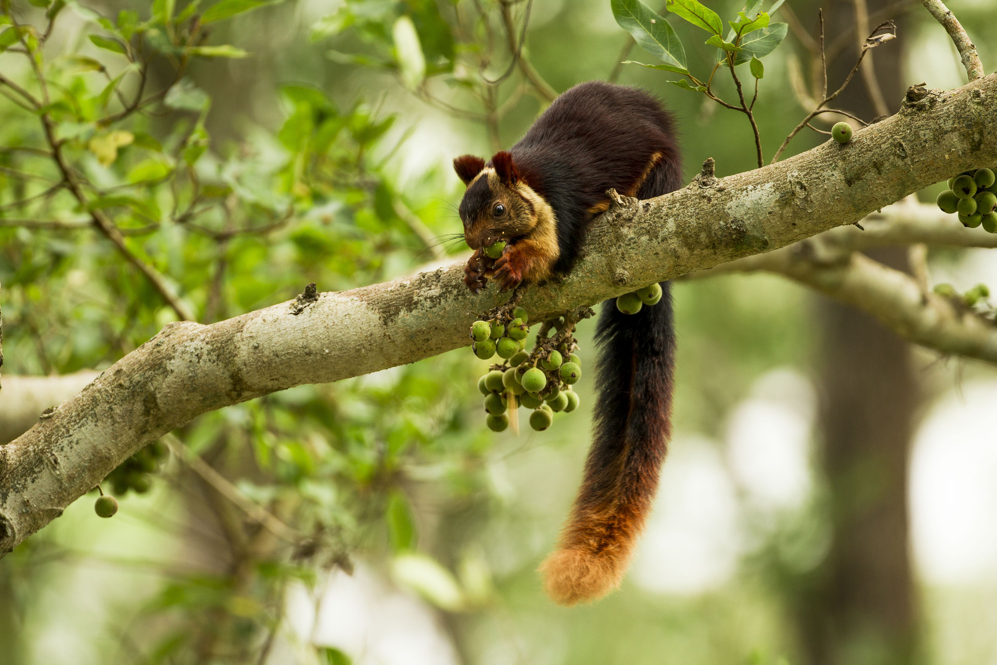 The Malabar giant squirrel lives in the forests of India © Sadesh Kadur/Felis Images