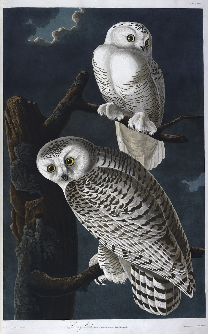 The Snowy Owl, John James Audubon