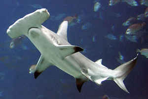 hammerhead_shark_small